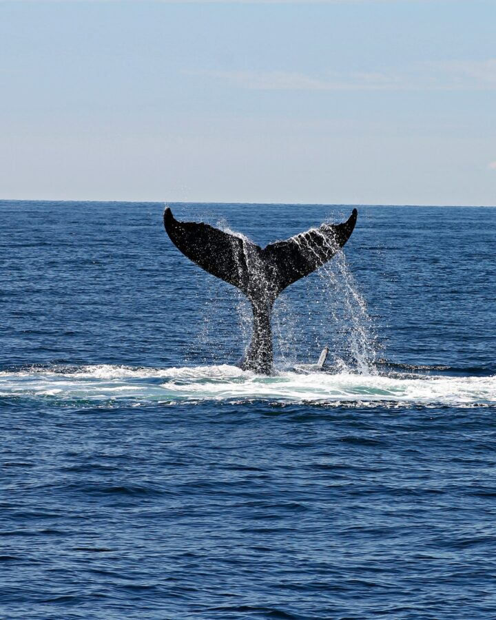 Is whale watching in Iceland worth it?
