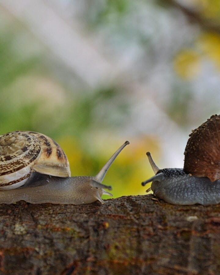 How many snails are eaten in France each year?